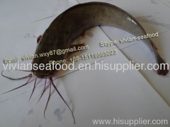 poisson chat Catfish Frozen Catfish Poisson Chat Barge