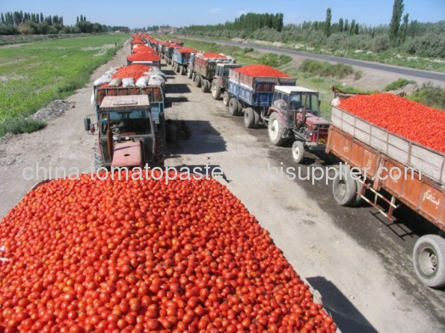 First Class quality tomato paste for america market