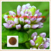 100% Natural Knotweed Herb Extract 8:1