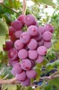 fresh red global grape