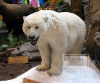 Animated Museum Exhibit Animatronic Animal Polar Bear
