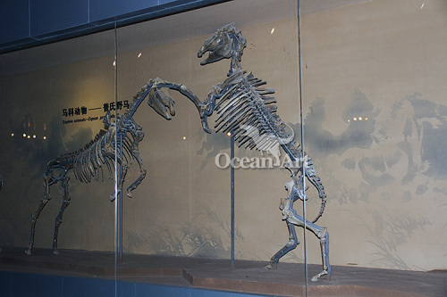animal skeleton model life size skeleton for sale