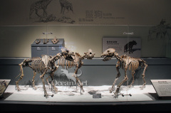 museum display equipment life-size animal skeleton