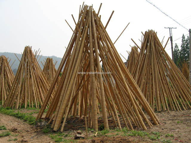 Big dry bamboo poles manufacturers and suppliers in china