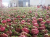 Fresh Dragon Fruit Vietnam