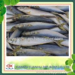 pacific mackerel saba fish scomber japonicus