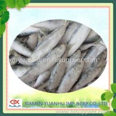 frozen sardine for tuna bait