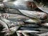 Sell buy horse mackerel scad FAO 61 Trachurus japonicus