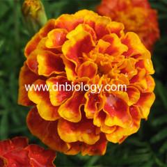 China Marigold extract lutine marigold extract