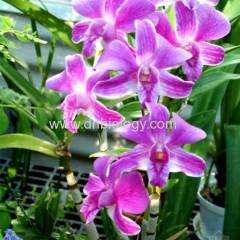 Noble Dendrobium Extract Flavones 5% 10 % Alkaloids 3% 5% China Noble Dendrobium Extract