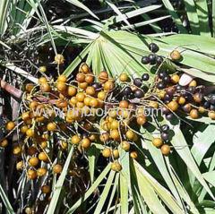 Saw Palmetto P.E.Saw Palmetto plant extract Fatty 25% 45% 60% Chinese Saw Palmetto
