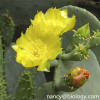 Prickly Pears P.E.Opuntia stricta plant extract Opuntia stricta botanical extract