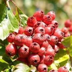 Hawthorn berry plant extract