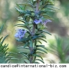 Here are Rosemary Extract