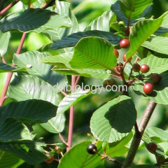 Cascara P.E. Rhamnus purshiana Cascara sagrada extract