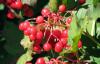 Cranberry Juice Powder- fruit powder