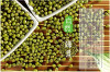 100% Pure non-GMO Dry Green Mung Beans for food or for Sprouting from China