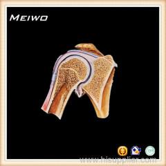 Coronal section of shoulder plastinated human
