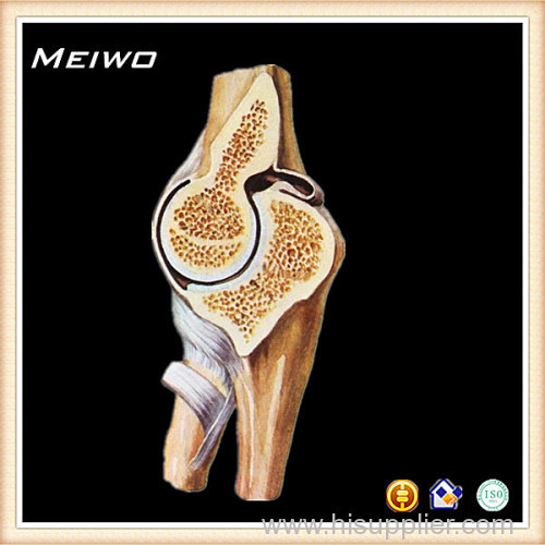 Section Of Elbow Joint Plastinated Human Bodies Manufacturer Supplier