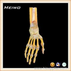 Hand joint plastinated specimens