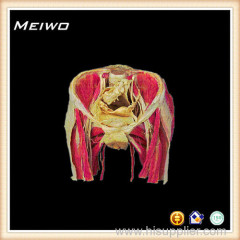 Female pelvic organs anatomy specimens for sale