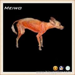 Dog animal plastinated specimen supplier
