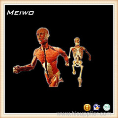 Runners in relay race posture plastinated cadaver