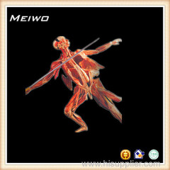 Javelin throwing posture anatomy specimen