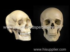 Super human skull anatomy specimens