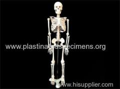 Human skeleton human skeleton buy