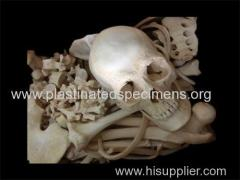bones of whole body real human skulls