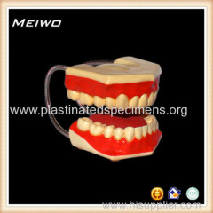 Superior oral hygiene model anatomy model