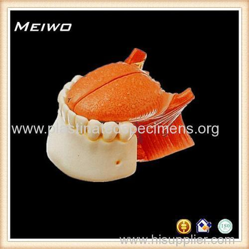 Model Of Mandible Root Of Tongue Anatomy Model Online Manufacturer