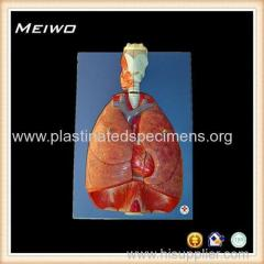 The heart lungs diaphragm and larynx model 3d anatomy model free