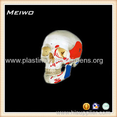 Advanced skull colored muscle model anatomy models