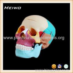 Skull chromatographic separation model anatomy models for sale