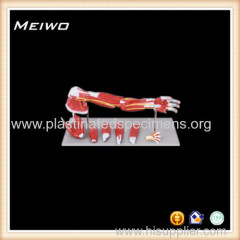muscles of arm flecion and extension 2part male anatomy models