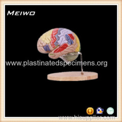 human brain with detailed anatomical structure annotation anatomy model