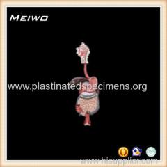 human digestive system plastic anatomy models