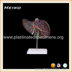 human liver medical anatomy models