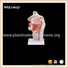 nasal cavity and mouth cavity sigital section 4d anatomy model