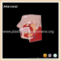 salivary gland human muscle anatomy model