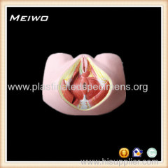 female perineum 3d anatomy model