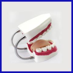 Teeth Oral care model