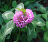 Red Clover Plant Etract.