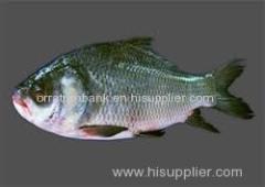 Fresh Katla Fish (Fresh Katla Fish )