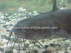 Cat Fish (High Breed Mangoor