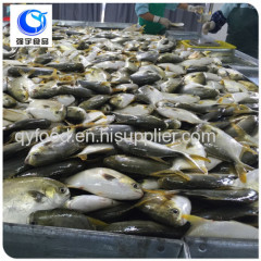 wholesale frozen seafood golden pomfret price