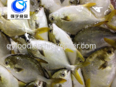 frozen fish golden pomfret