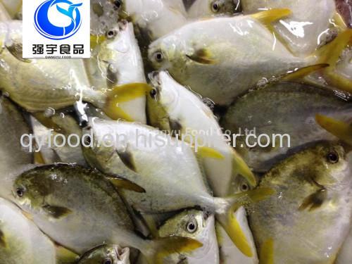 frozen fish golden pomfret